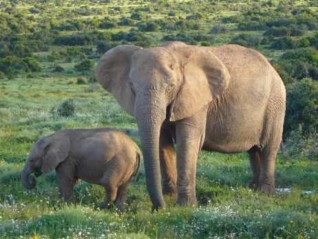 Which is the largest land mammal?