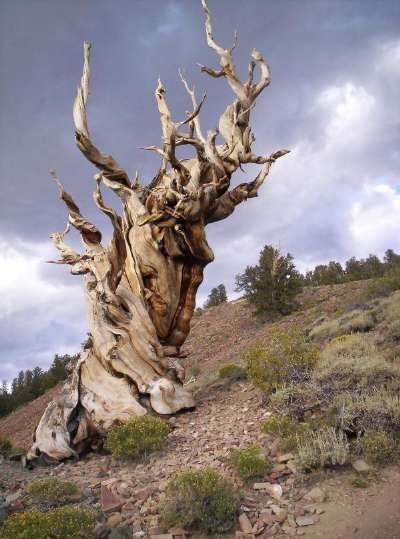 What is the worlds oldest tree?