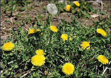 Early Colonists introduced the Dandelion to America