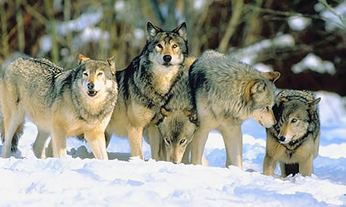 How large is a Wolf Packs territory?